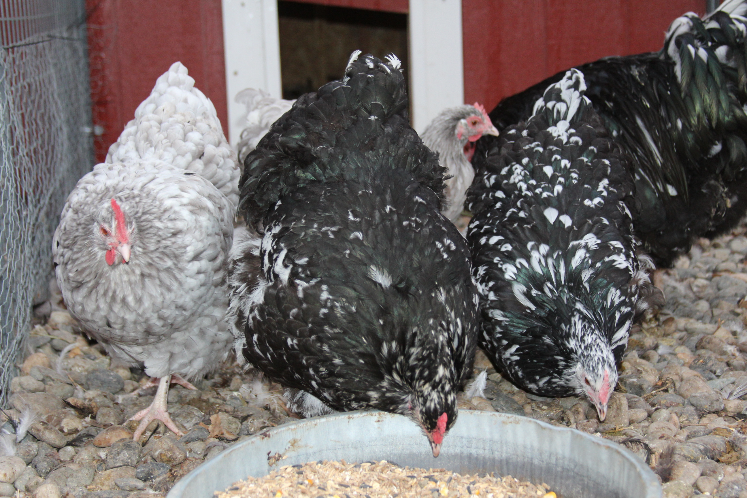 Riggins FANCY Chickens | For Sale